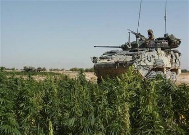 afghan_marijuana
