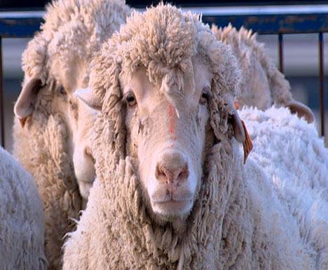 sheep_tagged