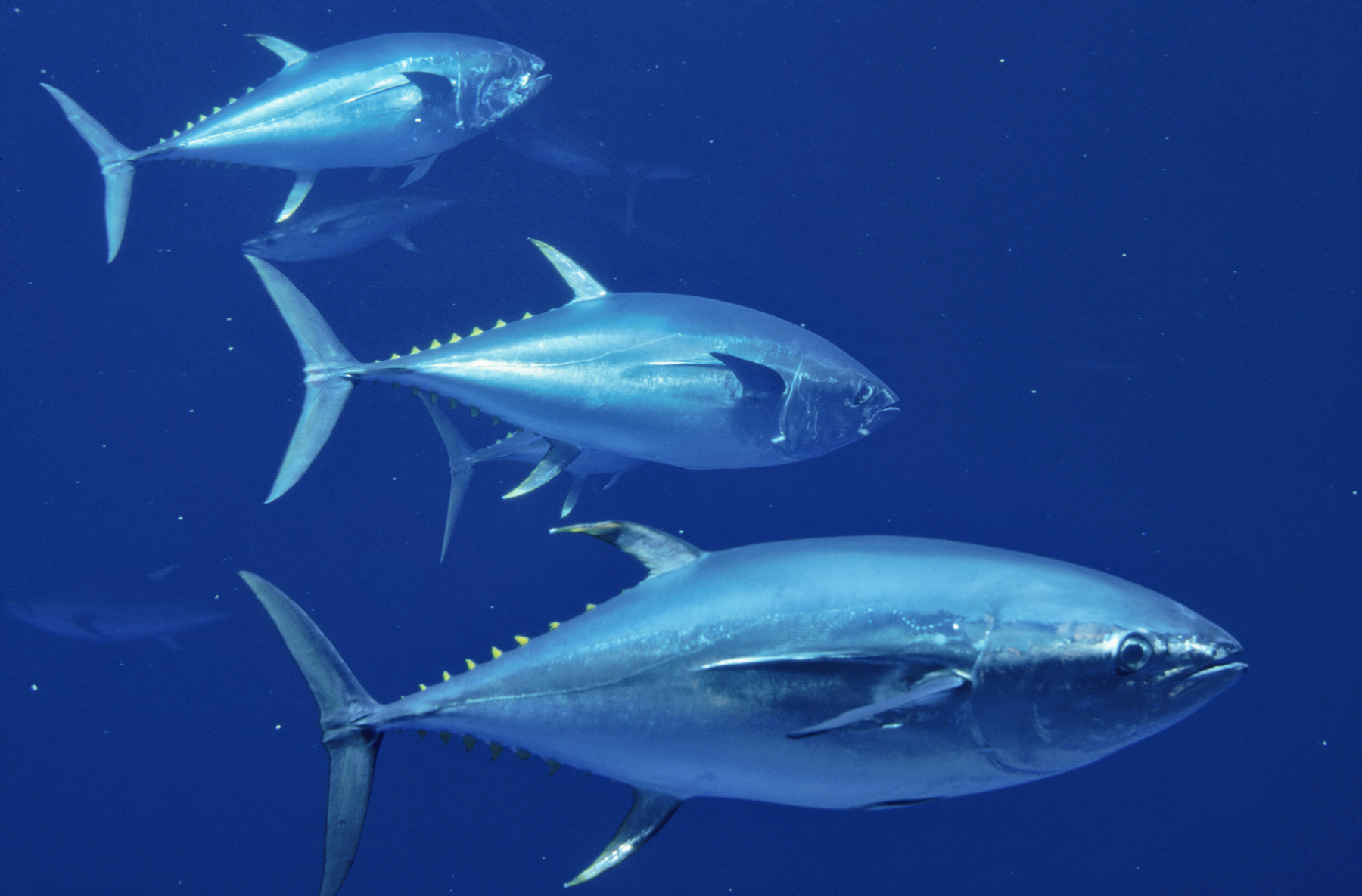 Radioactive tuna migrate from fukushima japan quake zone for What do tuna fish eat