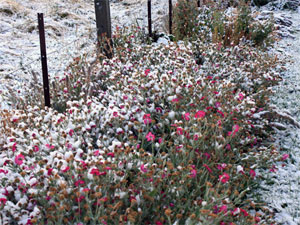 Unseasonally frosty flowers near Patearoa, Central Otago.  - Source: Supplied by Jan MacKenzie